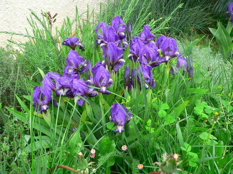 Iris chamaeiris et Iris tectorum Iris_chamaeiris_2