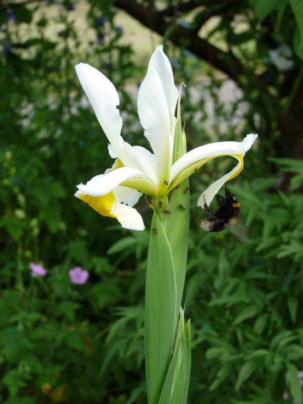Iris chamaeiris et Iris tectorum Iris_ochroleuca
