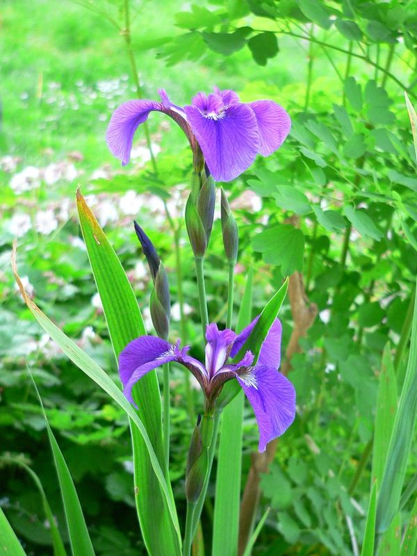 Iris chamaeiris et Iris tectorum Iris_setosa