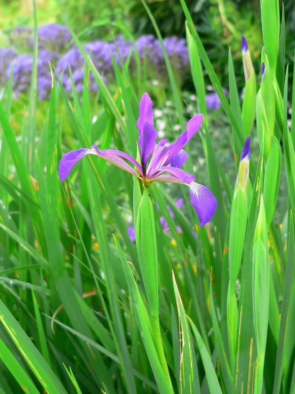 Iris chamaeiris et Iris tectorum Iris_spuria_maritima