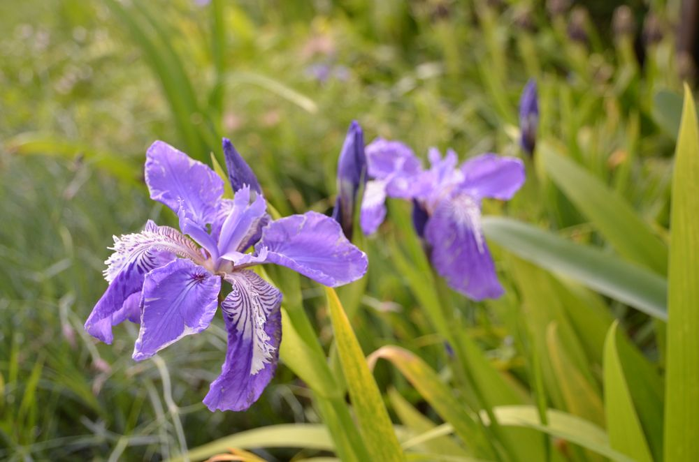 Iris chamaeiris et Iris tectorum Iris_tectorum