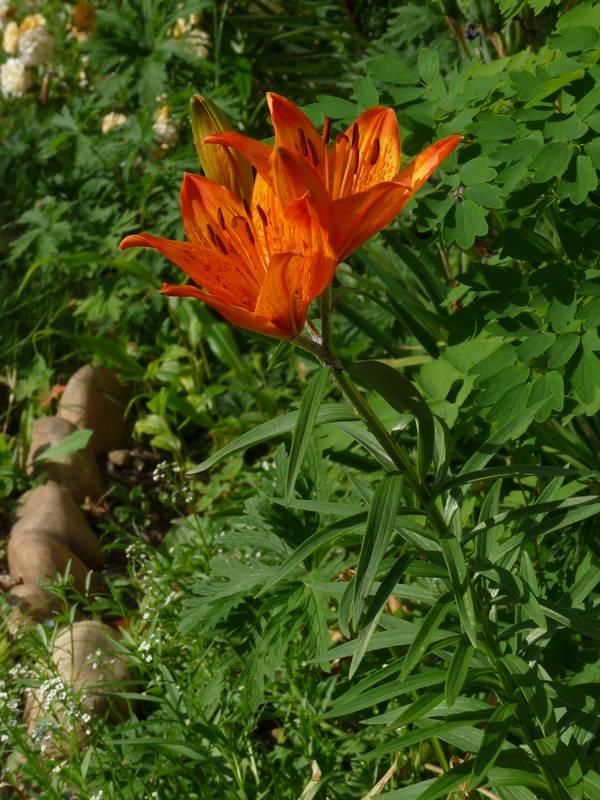 Lilium bulbiferum Lilium_croceum