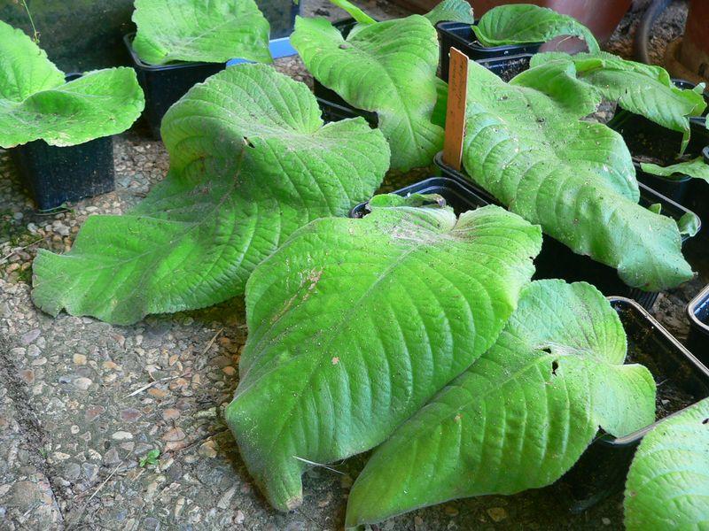 Mes semis de Streptocarpus Streptocarpus_grandis1