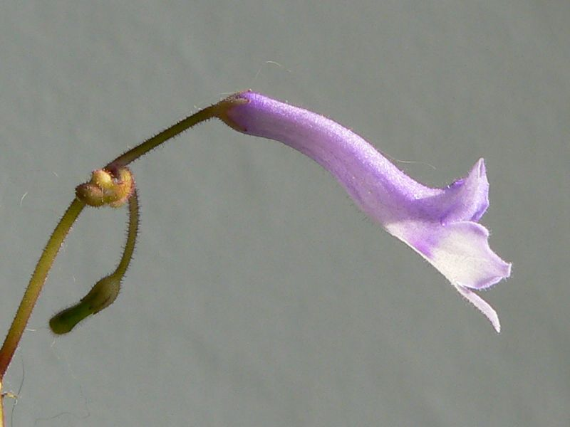 Mes semis de Streptocarpus Streptocarpus_grandis_fleur2